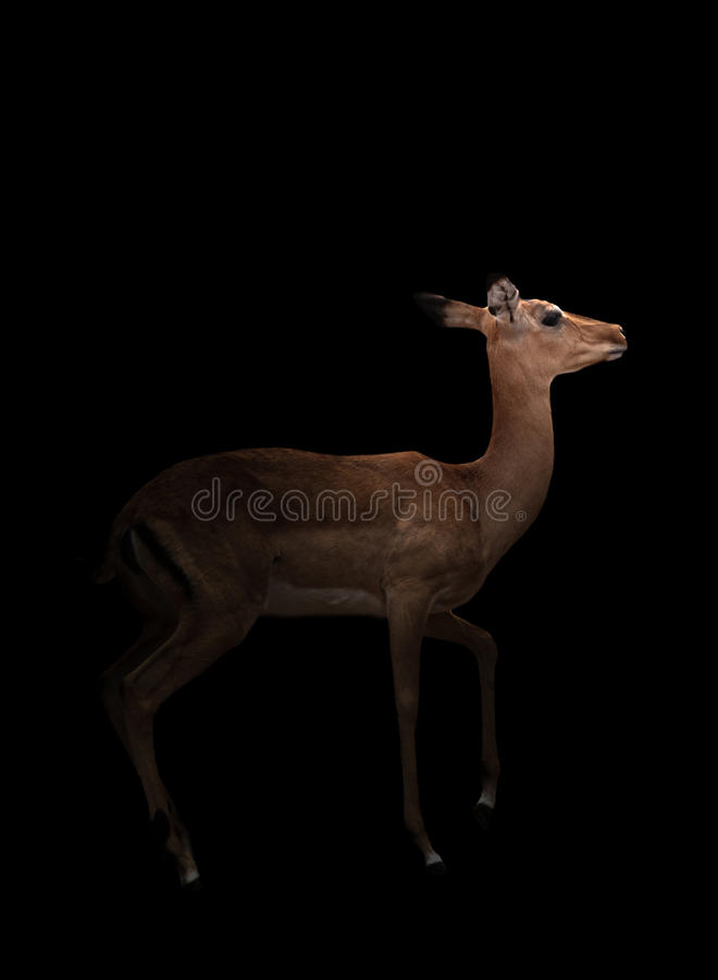 Impala en la oscuridad fotografía de archivo libre de regalías