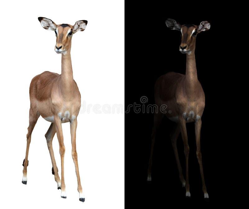 Impala en la oscuridad e impala aislado fotografía de archivo libre de regalías