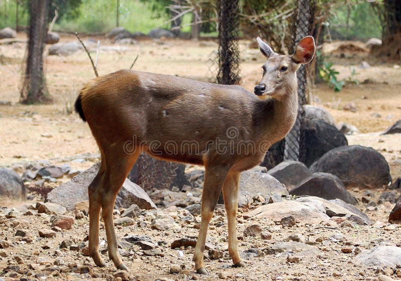Impala fêmea imagem de stock royalty free
