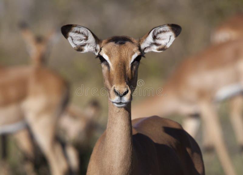 Impala fêmea - Botswana fotografia de stock