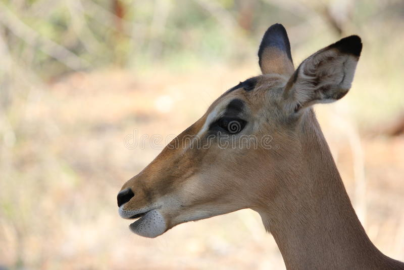 Impala femelle photos stock