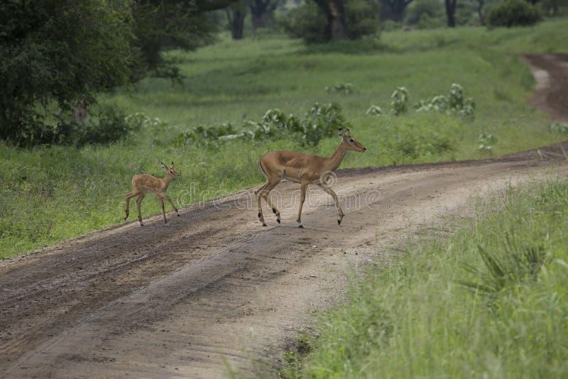 Impala femminile con la giovane impala Parco nazionale di Tarangire - Wildl fotografie stock libere da diritti