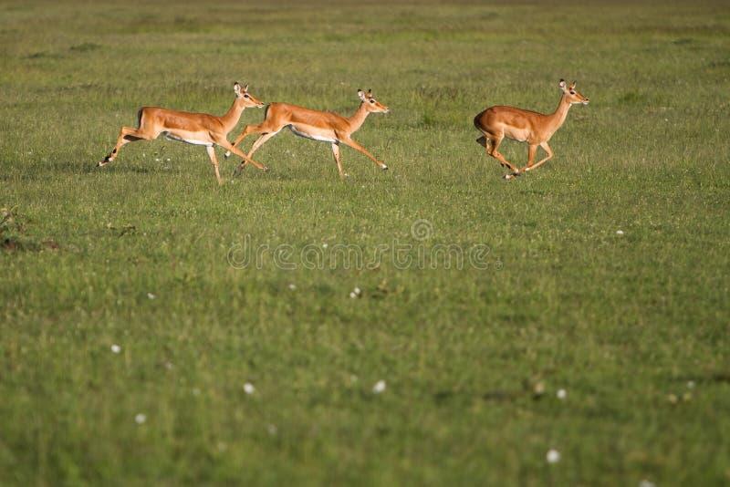 Impala fonctionnant dans le masai Mara image libre de droits