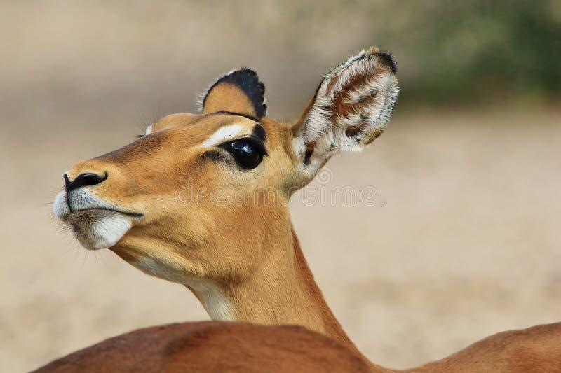 Impala - fond de faune d'Afrique - l'humeur têtue de la nature photographie stock libre de droits