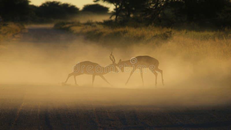 Impala - fondo de la fauna - club de la lucha en naturaleza fotos de archivo libres de regalías