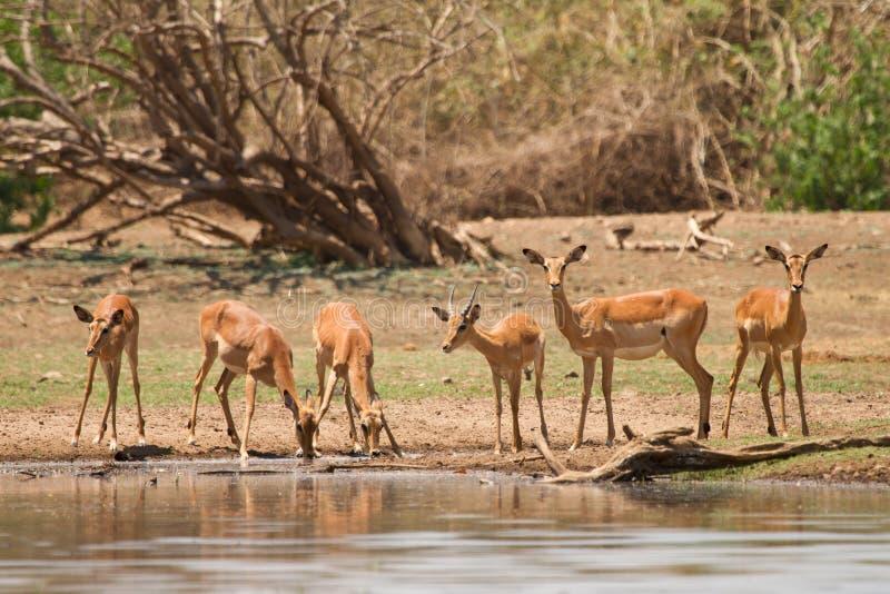 Download Impala gazelle стоковое фото. изображение насчитывающей antares - 18389256