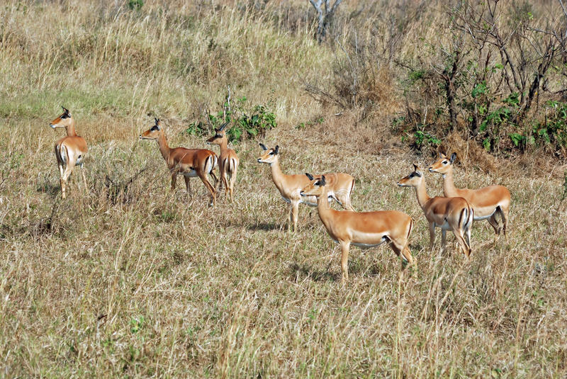 Impala group in dry grass - Tanzania. Impala ( Aepyceros melampus ) group a medium-sized African antelope in woods and pasture - Mikumi National Park - South royalty free stock photography