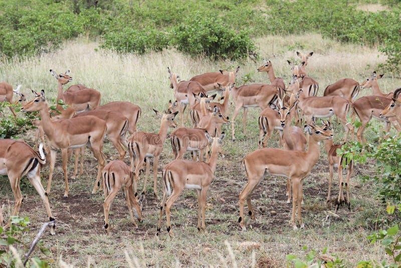 Impala herd. In Krugernational park royalty free stock photo