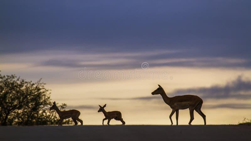Impala i den Kruger nationalparken, Sydafrika arkivfoton