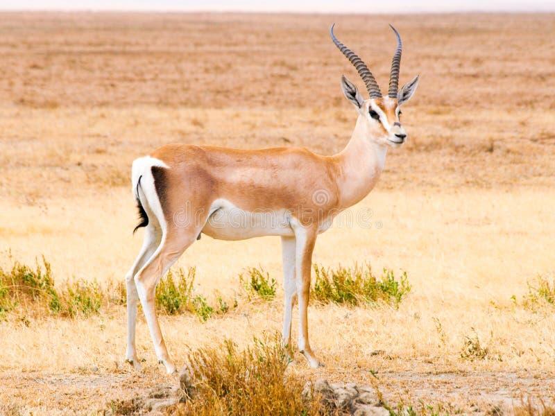 Impala i den naturliga livsmiljön av savann, Afrika arkivbilder