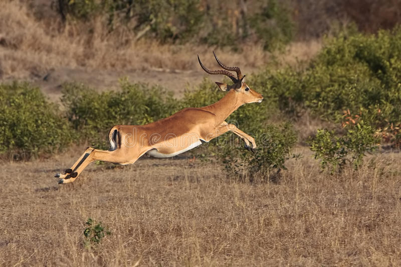 Impala Jump royalty free stock photos