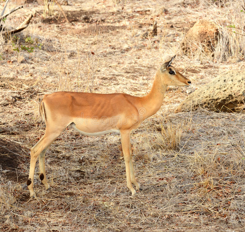 Impala in Kruger National Park royalty free stock photography