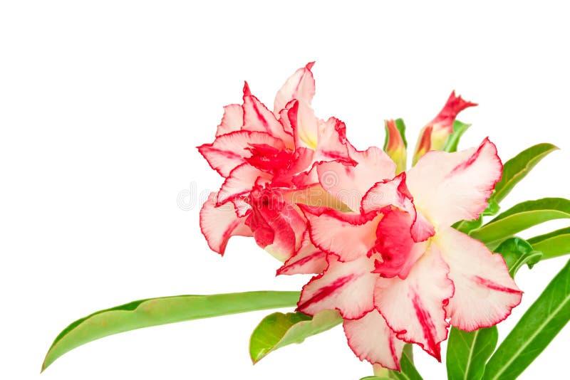 Impala Lily or desert rose or Mock Azalea royalty free stock photography