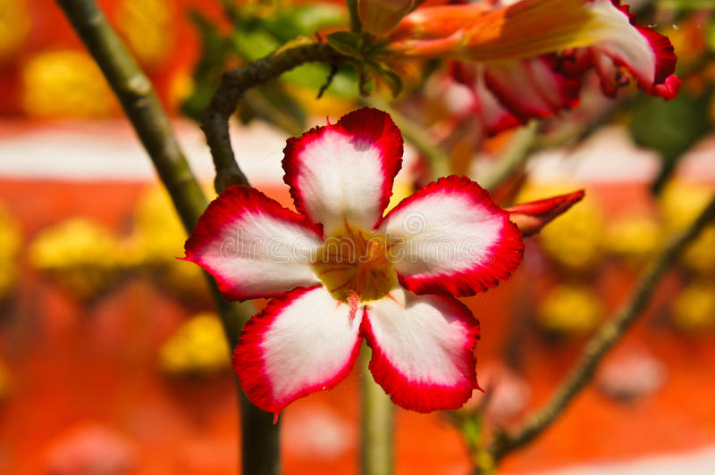 Impala Lily flower stock photography