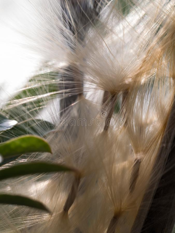 Impala Lily Seeds de la vaina fotos de archivo