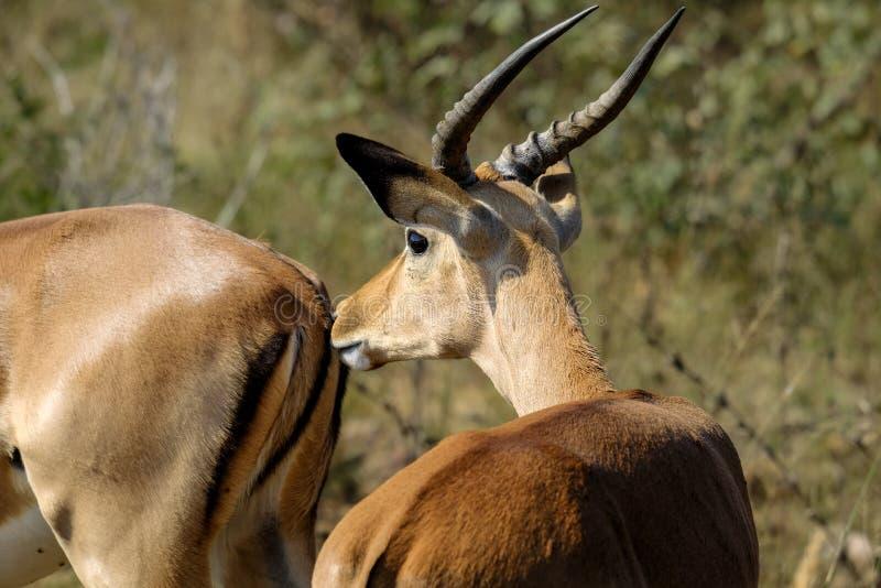 Impala masculina no selvagem imagens de stock royalty free