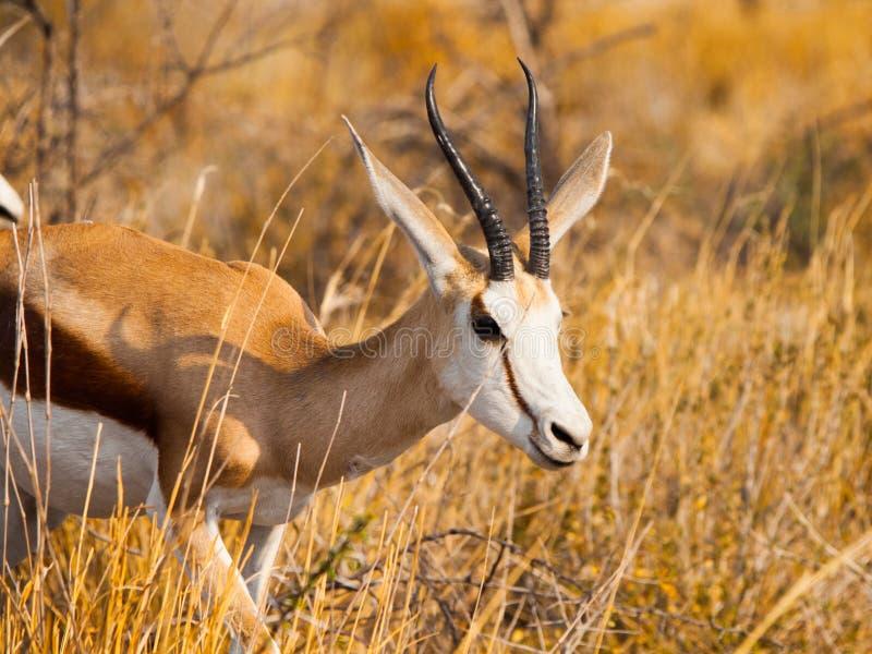 Impala masculina que anda no savana fotos de stock