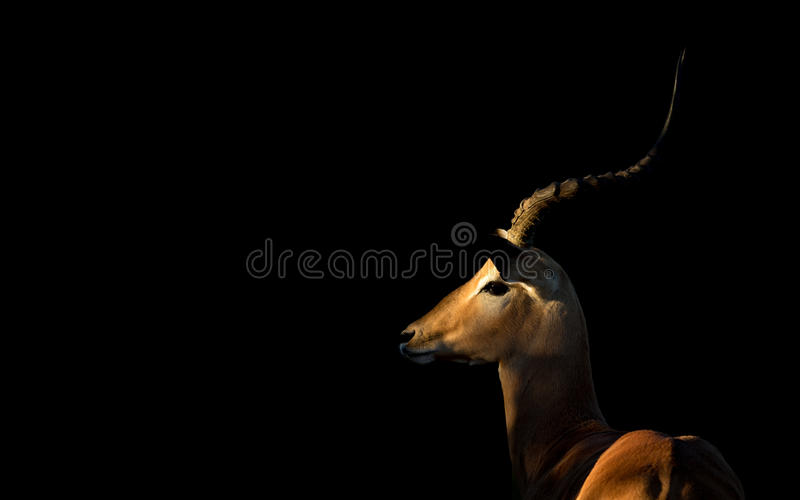Impala masculino, Botswana imagenes de archivo