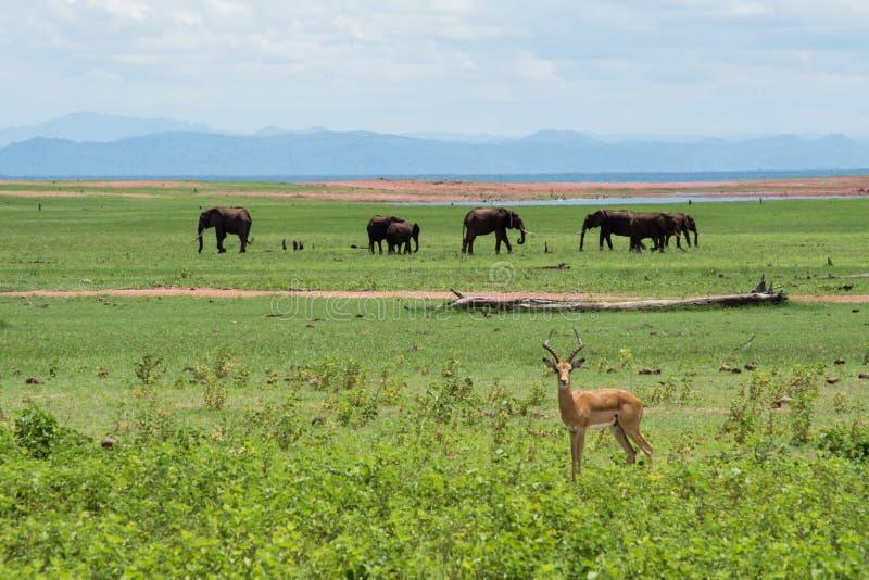 Impala met olifanten stock afbeeldingen