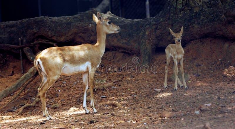 Impala mother deer and baby deer stock photos