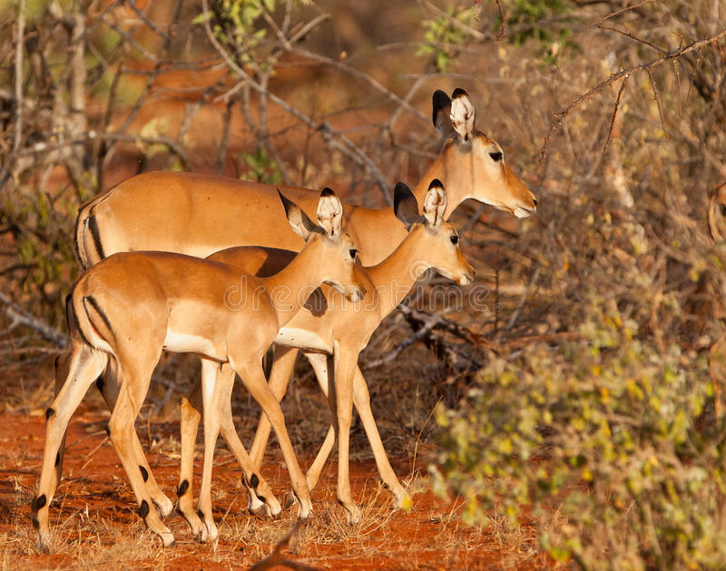 Download Impala Mother And Twins Stock Images - Image: 23971174