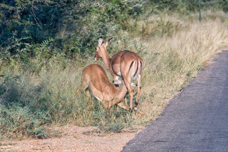 Impala nova que mama em uma ovelha fotos de stock royalty free