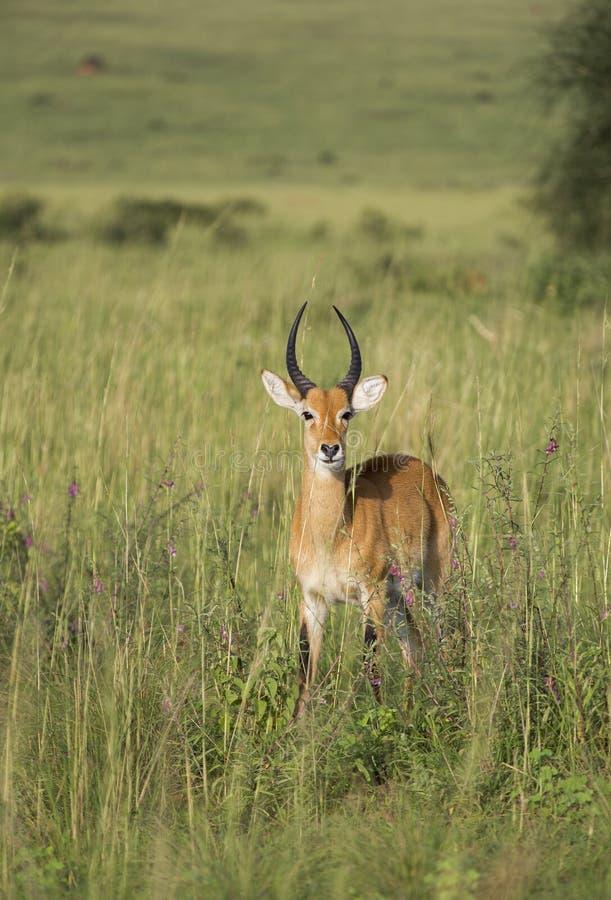 Impala in Oeganda royalty-vrije stock afbeelding