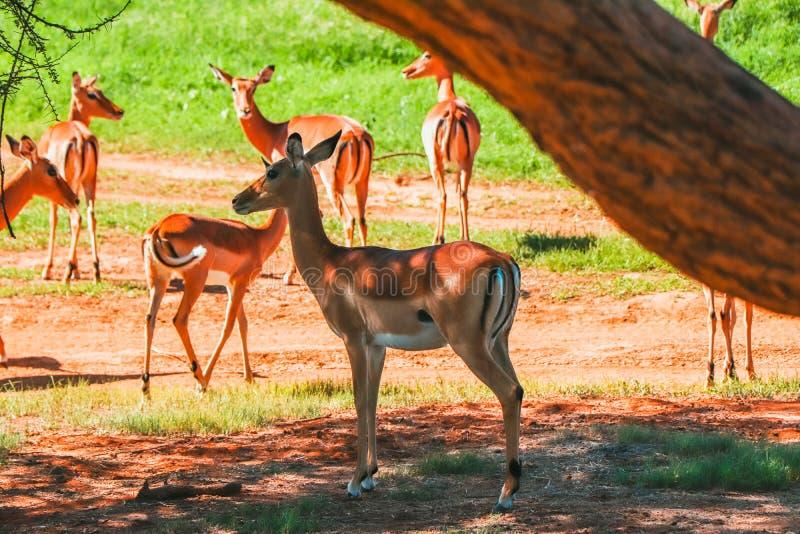 Impala på samburunationalparken Kenya under att gå i ide för safari arkivfoton