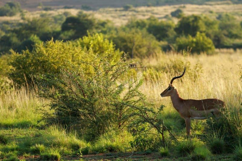 Impala, Pilanesberg foto de archivo