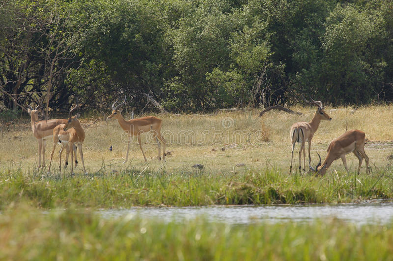 Impala, plains game. Herd of Impala rams in the open african plains royalty free stock images
