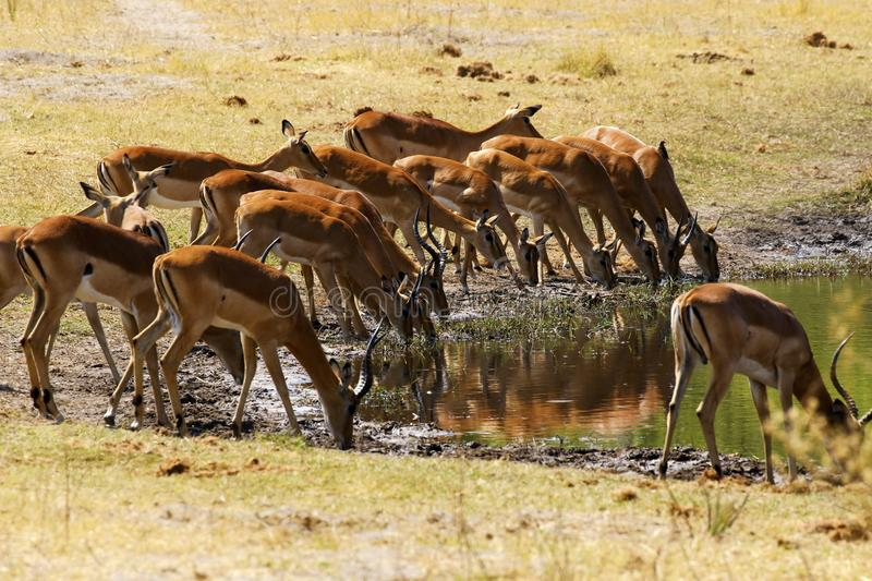 Impala, plains game drinking together stock images