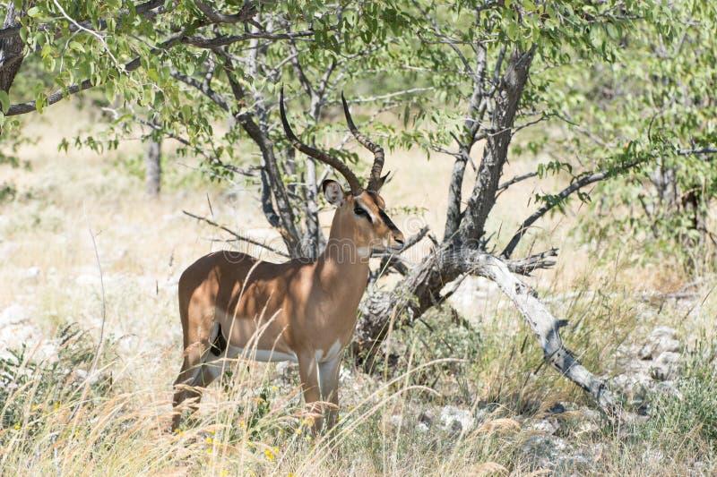 impala Preto-enfrentada imagens de stock royalty free