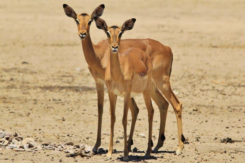 Impala - przyrody tło od Afryka - Bliźniaczy gapienie rewolucjonistka obrazy royalty free