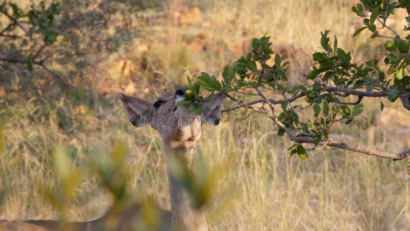 Impala que come de un arbusto fotografía de archivo libre de regalías