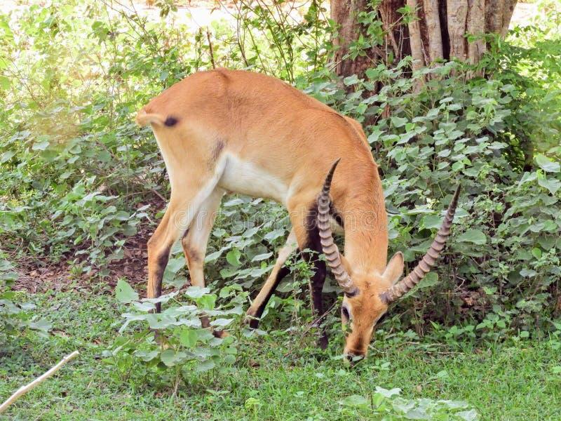 Impala que come a grama em Sri Lanka imagem de stock royalty free