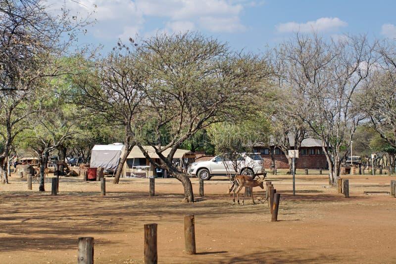 Impala que pasta en un camping en el parque de Pilanesberg Naitonal imagen de archivo libre de regalías