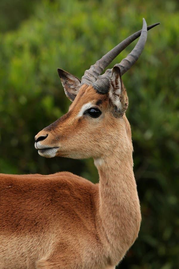 Impala-RAM-Junge stockbild
