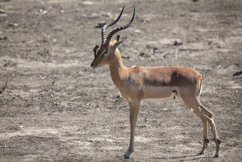 Impala-RAM mit oxpeckers auf seinen Gesichtsreinigungsparasiten stockfoto