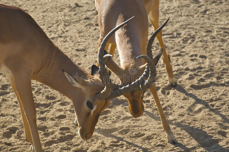 Download Impala Rams Sparring stock photo. Image of wildlife, animal - 10574024