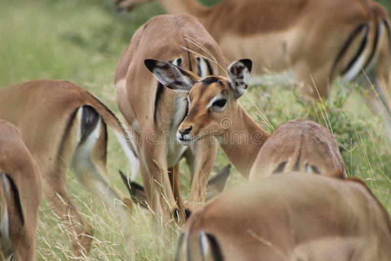 Impala regardant en arrière images libres de droits