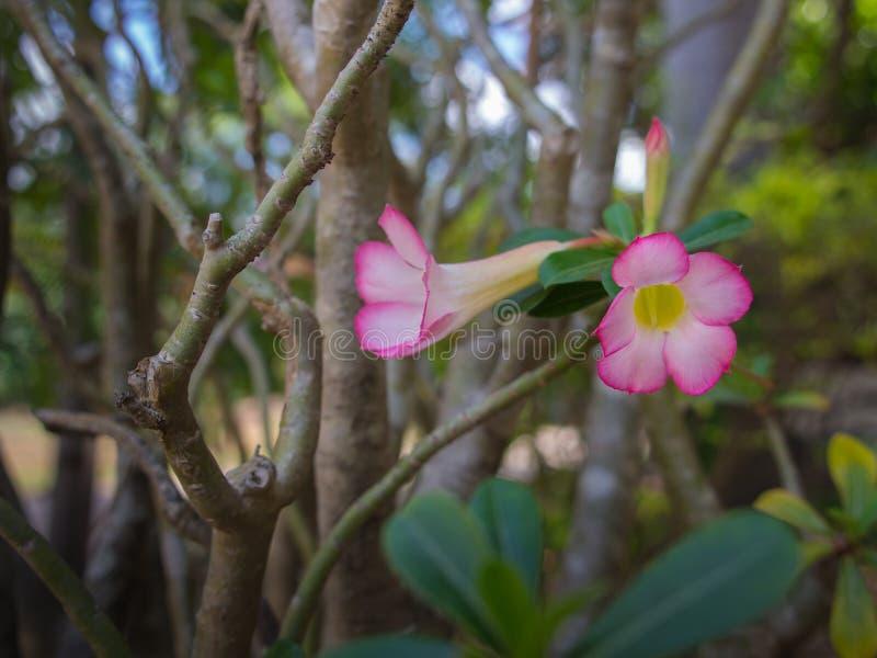 Impala rosado blanco Lily Flower Blooming imagen de archivo