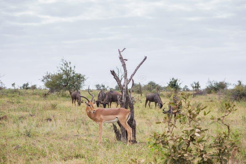 Impala só cercada pelo gnu fotografia de stock royalty free