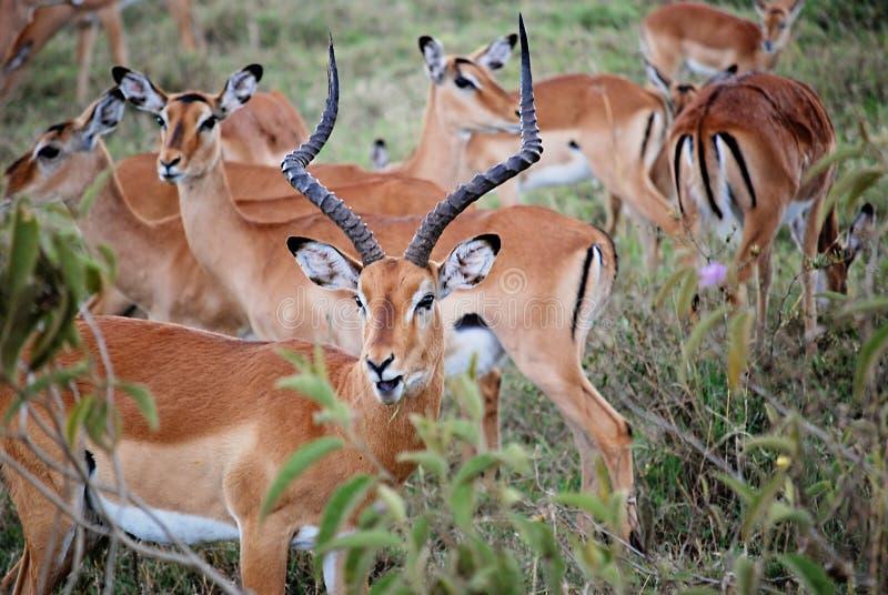 Impala's in safari masa-Mara in Kenia royalty-vrije stock foto's