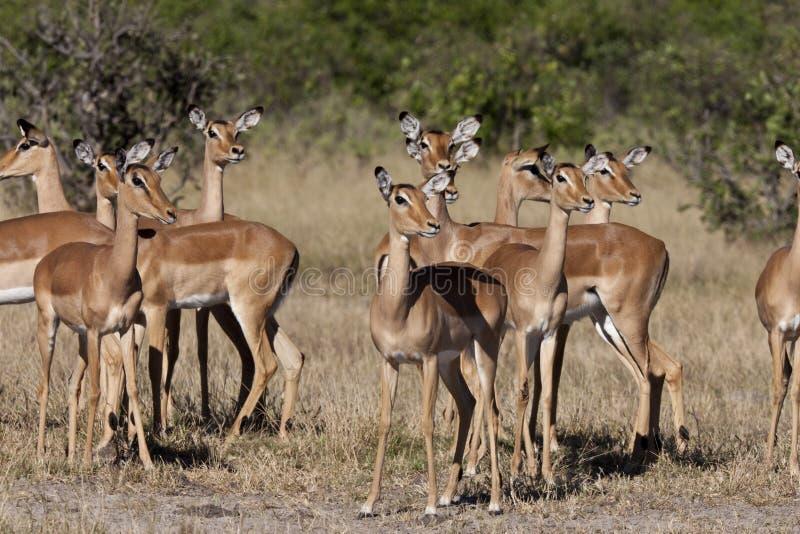 Impala - Savuti - Botswana stock image