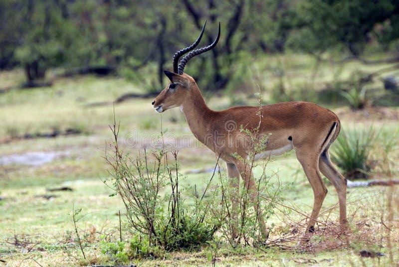 Impala, Selous Game Reserve, Tanzania stock photo