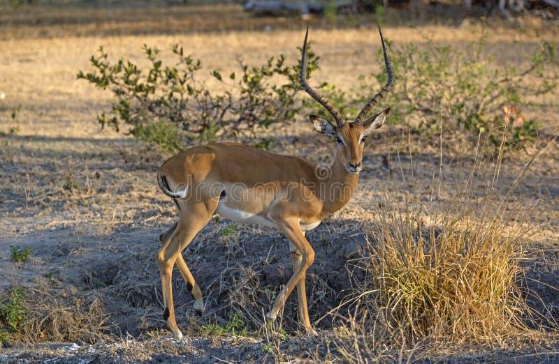Impala, Selous-spelreserve, Tanzanie royalty-vrije stock afbeelding