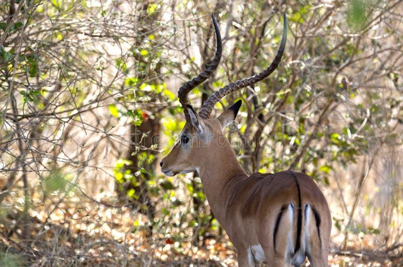 Impala, Selous Spiel-Vorbehalt, Tanzania stockbilder
