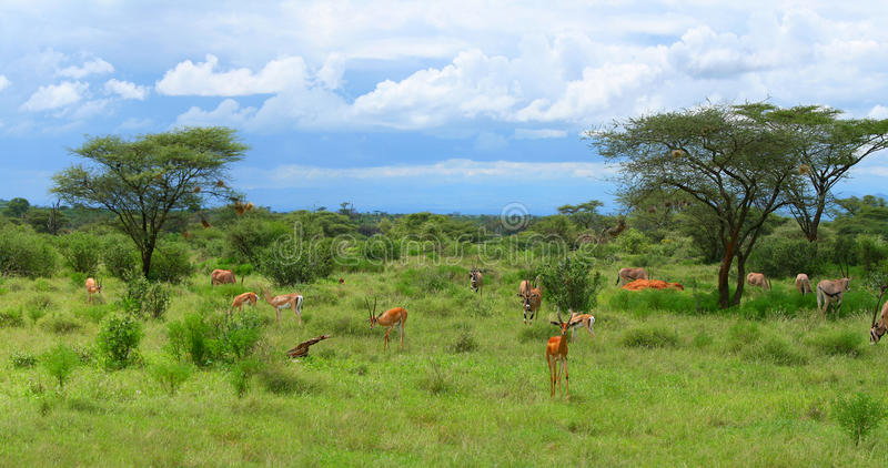 Impala selvagem fotografia de stock