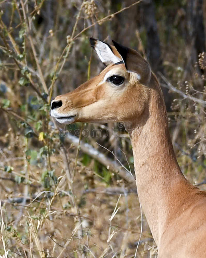 Impala side-view head and neck royalty free stock photo