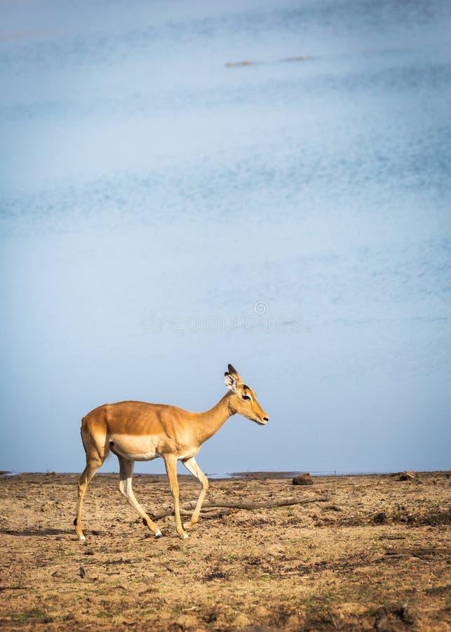 Impala som går vid floden royaltyfria bilder